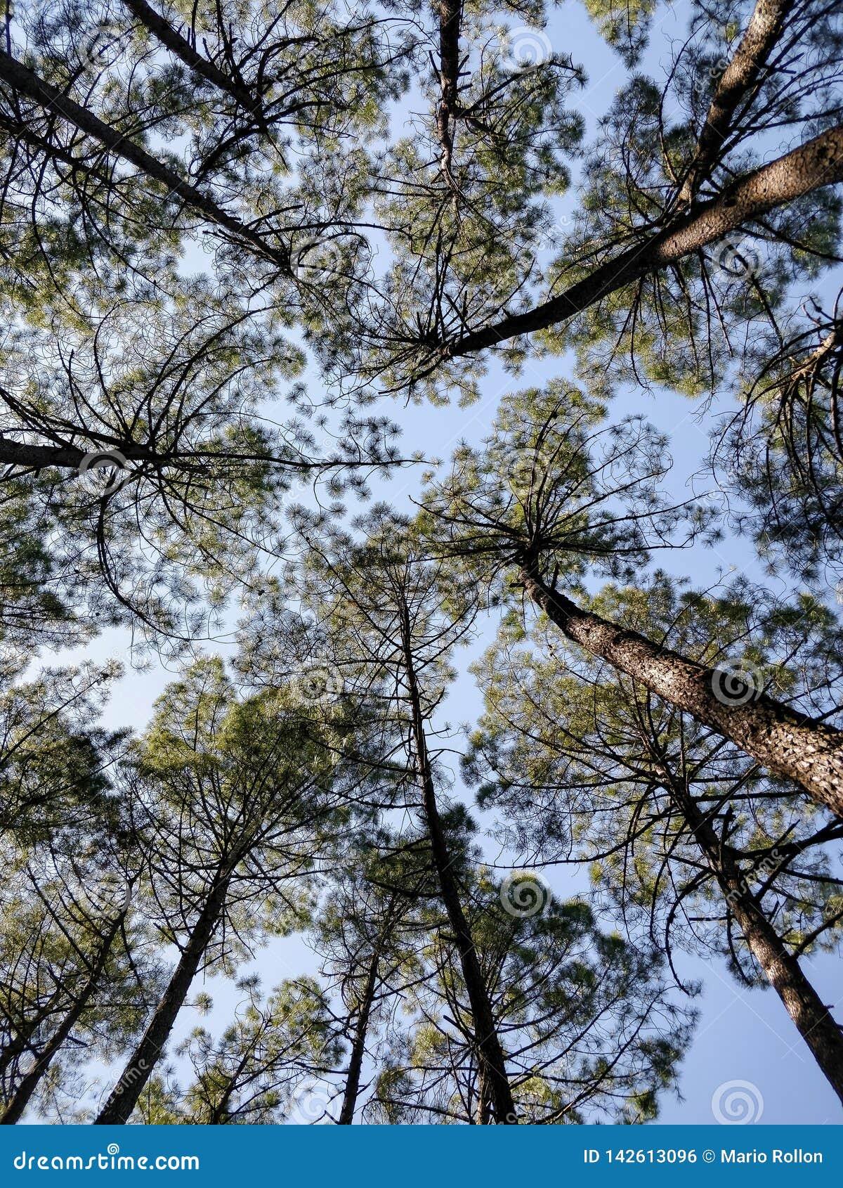 Stamm und Krone der Kiefern von der Basis der Bäume