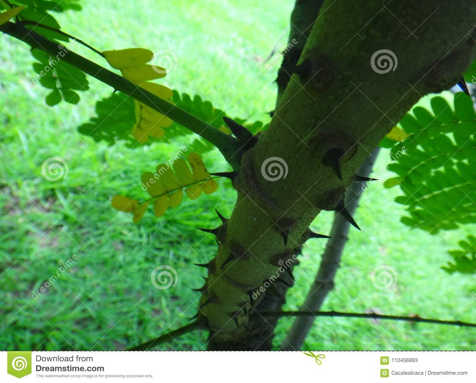 StamorÂstam av sappanwood