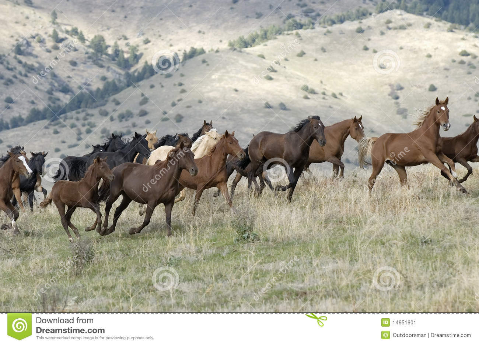 Stampeding Horses Stock Image Image Of Running Colt
