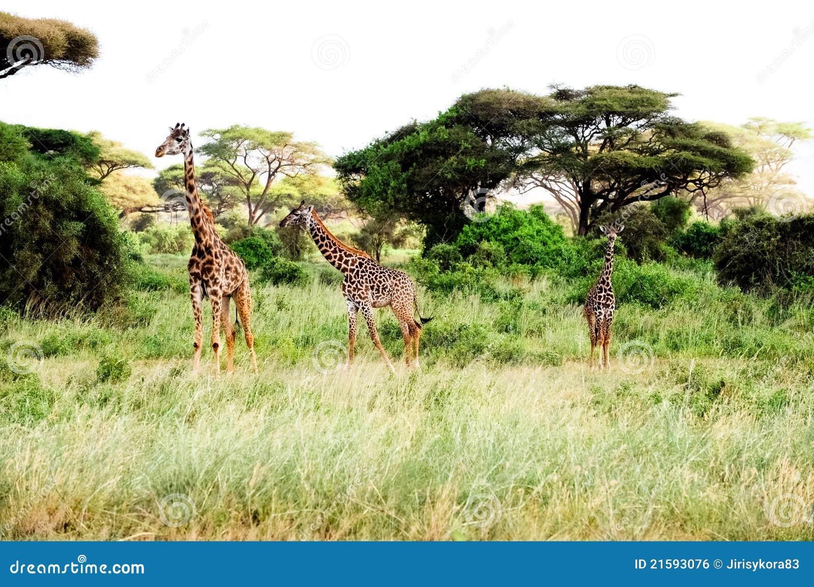 Stand de trois giraffes dans la savane africaine sur le safari