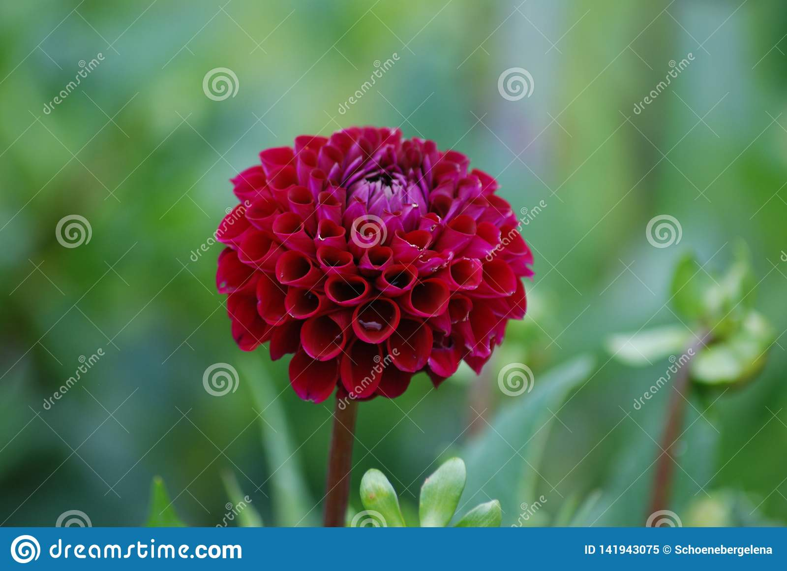 Stand out from the Crowd - Diva - Wine Colored Dahlia Blossom