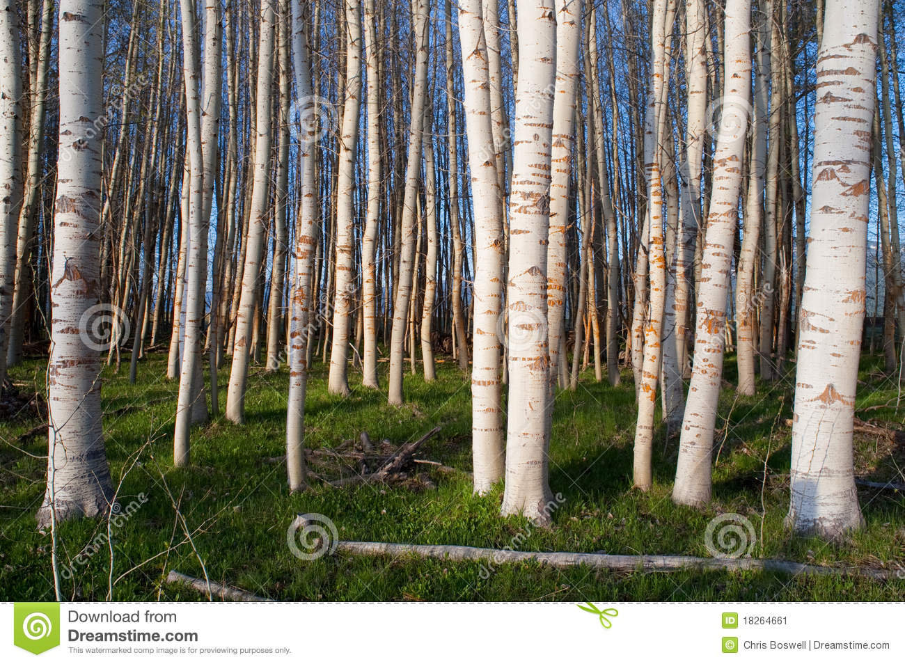 Stand Of Trees White Bark Green Grass Stock Image Image