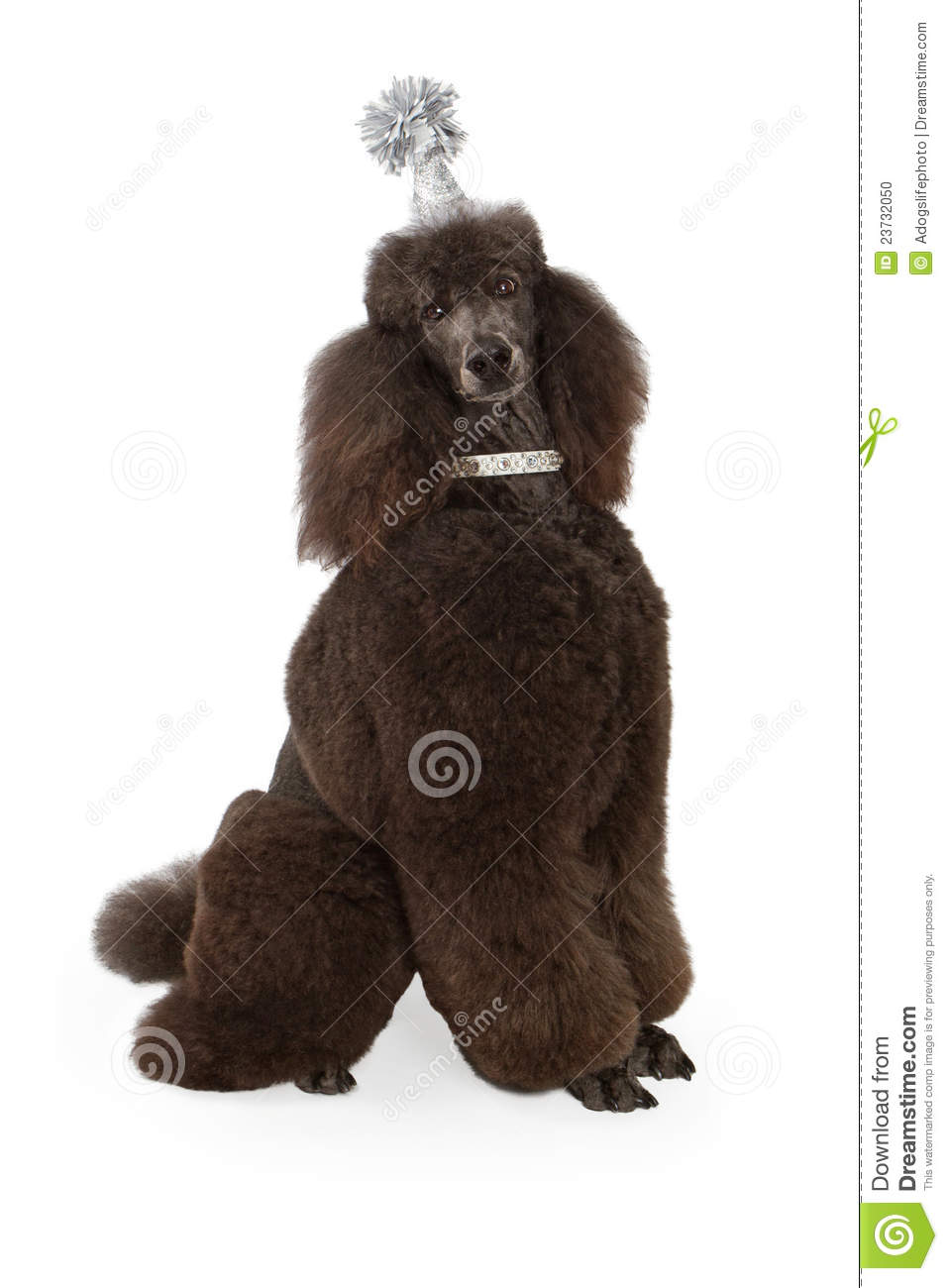 Standard Black Poodle Wearing Party Hat Stock Photo