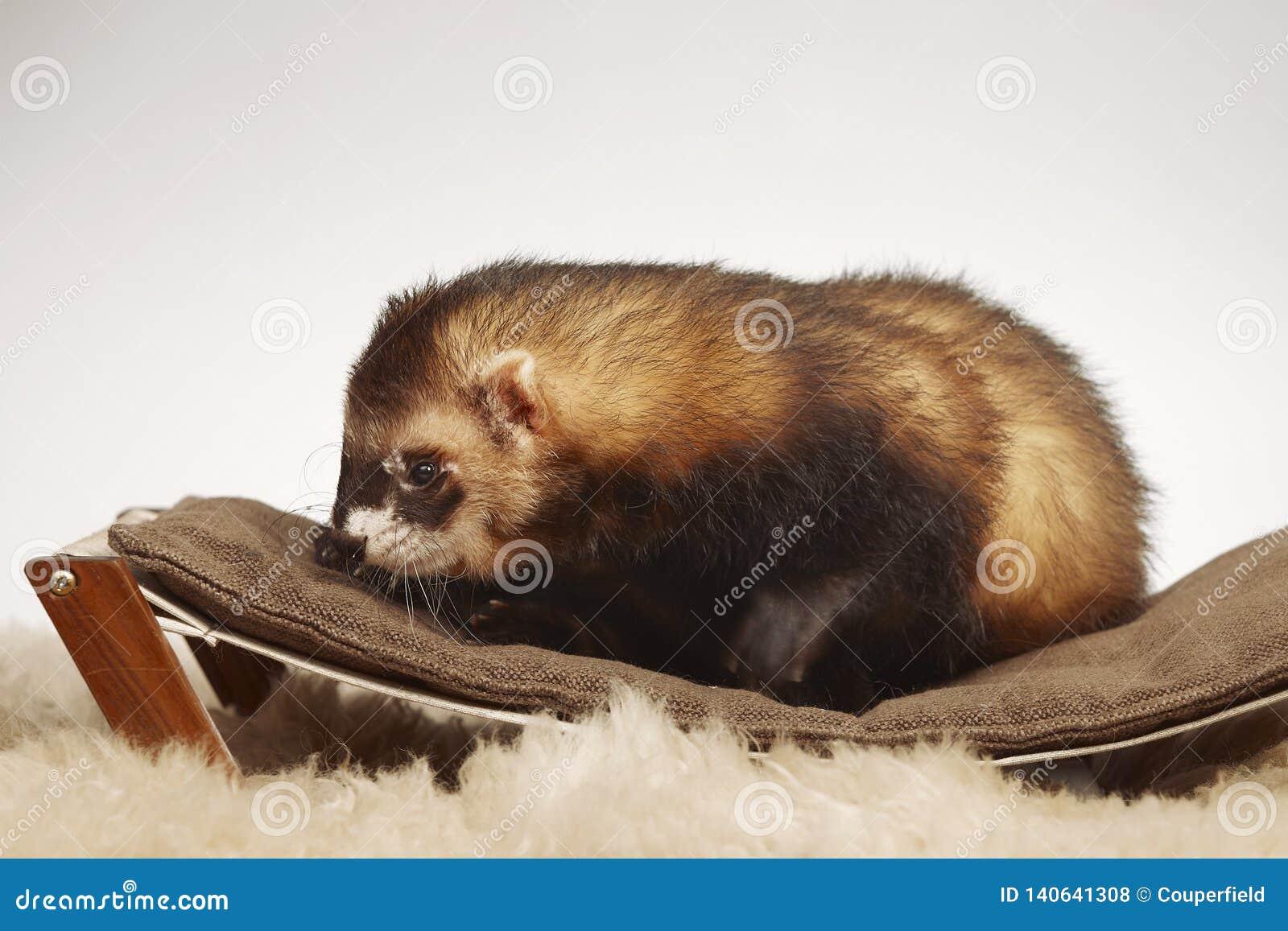 Standard color male ferret on sofa in studio - portrait