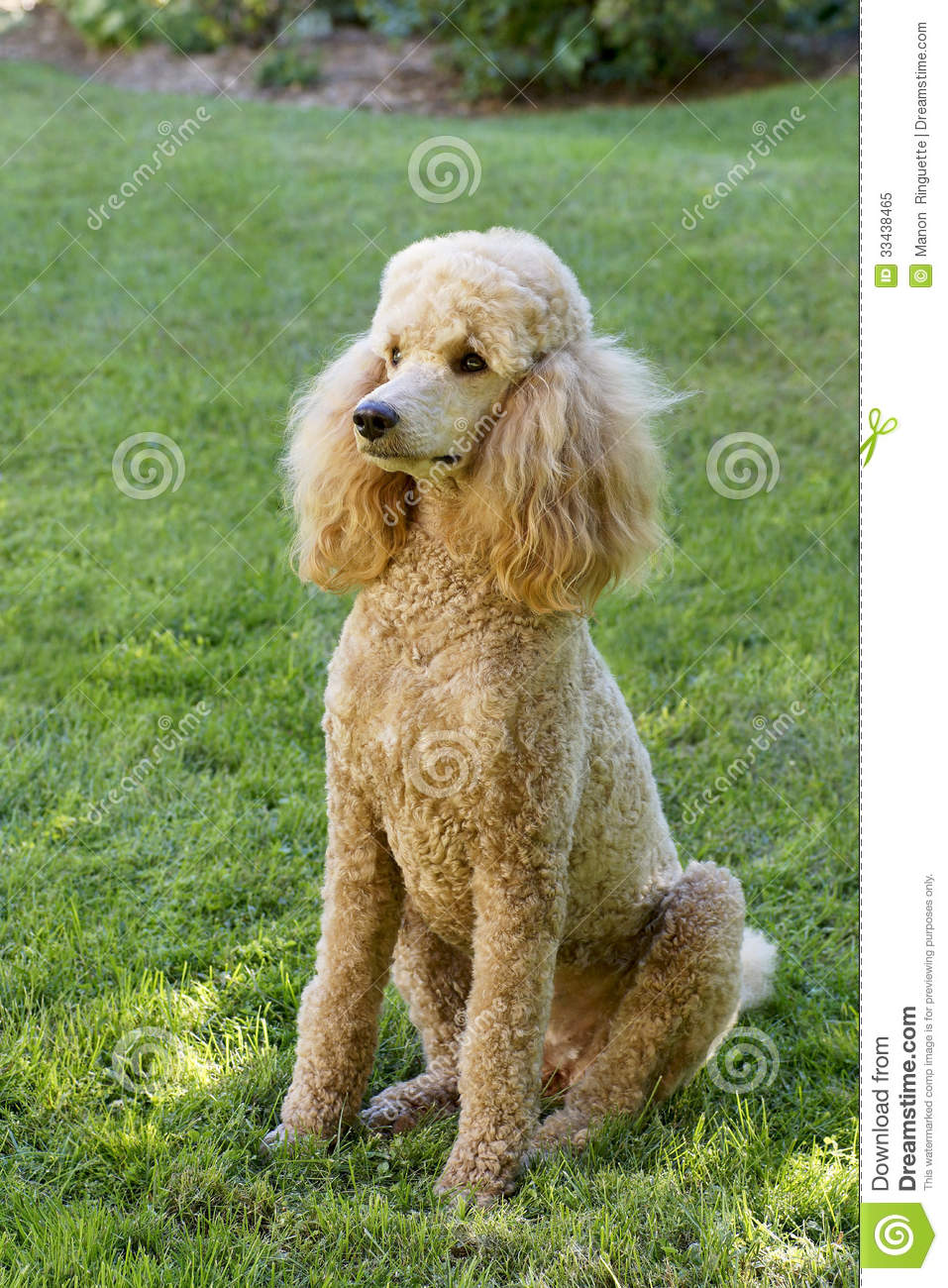 Standard Poodle - Apricot stock image. Image of standard ...