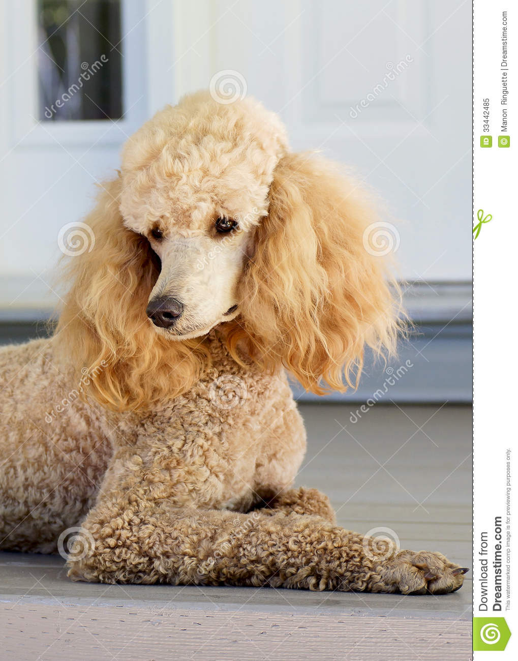 Standard Poodle Apricot Royalty Free Stock Photo Image