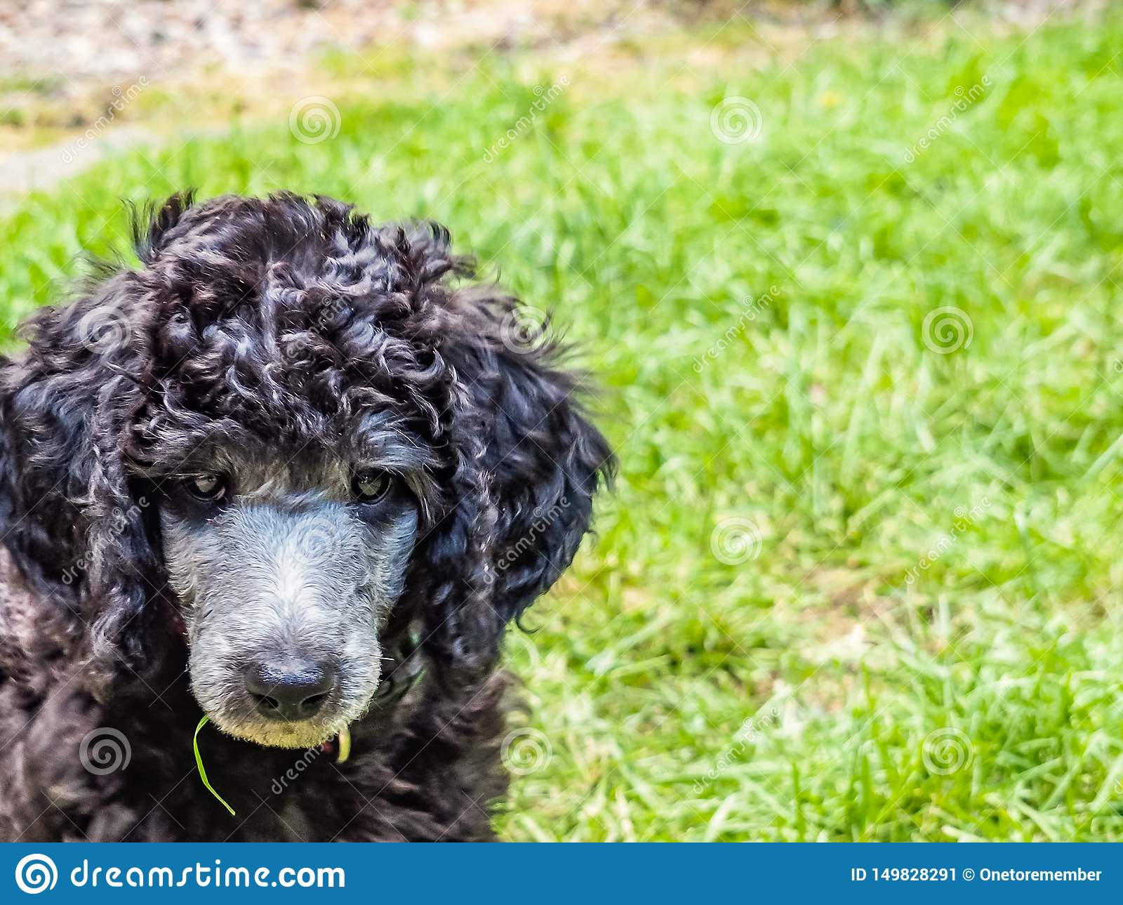 Standard Poodle Puppy Stock Image Image Of Face Small 149828291