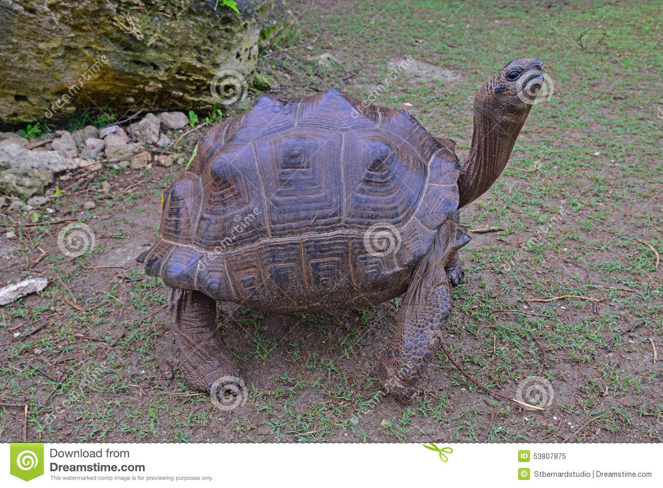 A standing Aldabra giant tortoise with her four strong legs