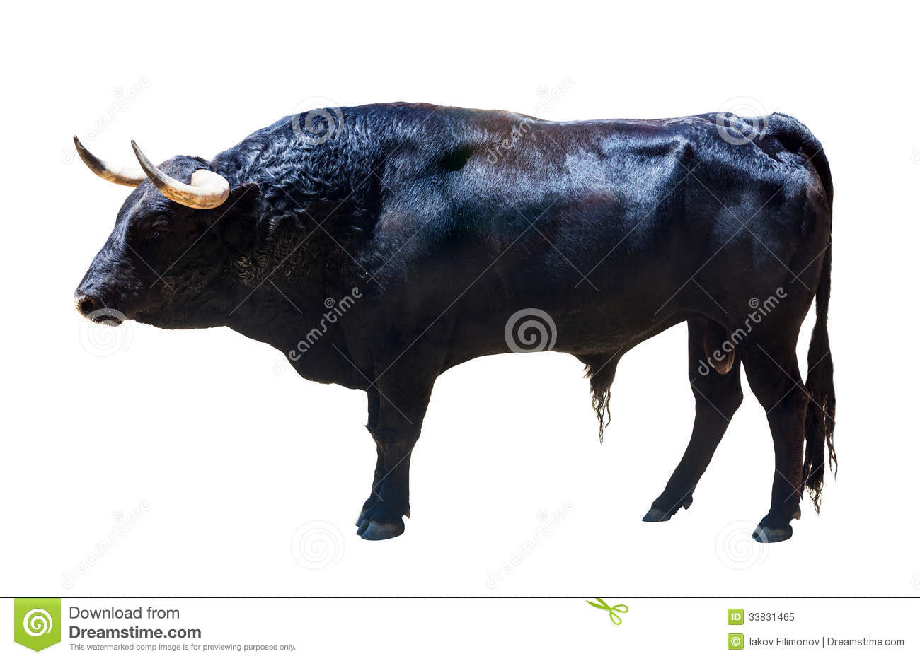 Standing Black Bull Isolated Over White Royalty Free