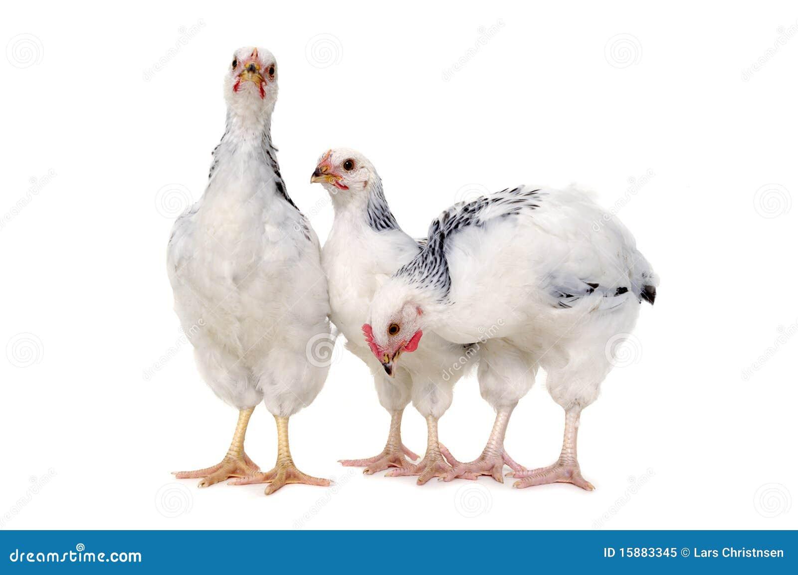 Standing chickens