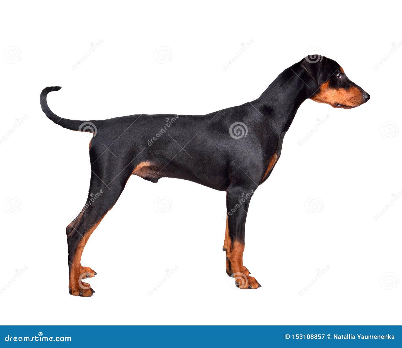 Standing Doberman Pinscher Puppy Stock Image Image Of Doberman Look 153108857