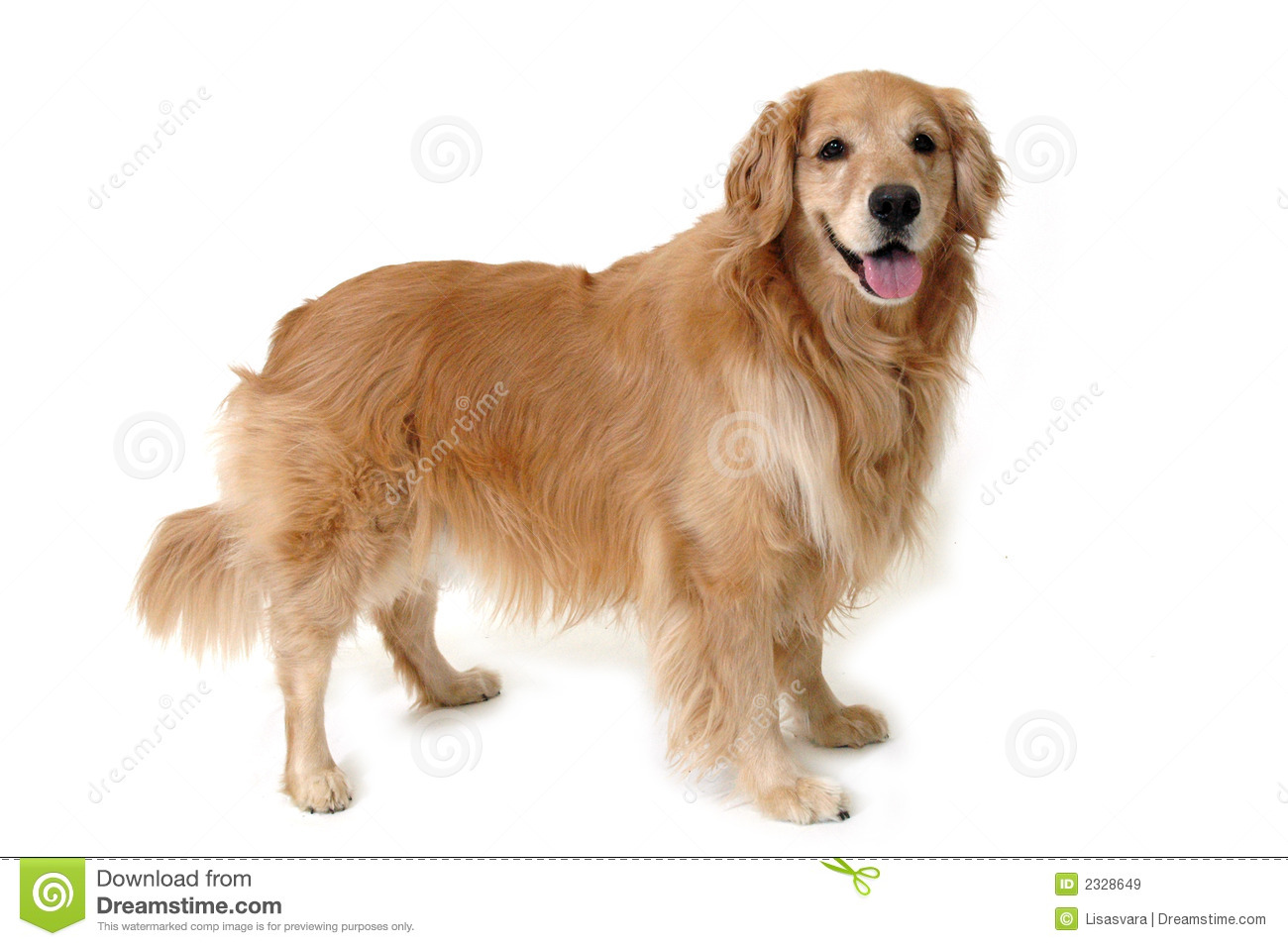 Train Golden Retriever Puppy Discovery The Best Dog Trainer Every
