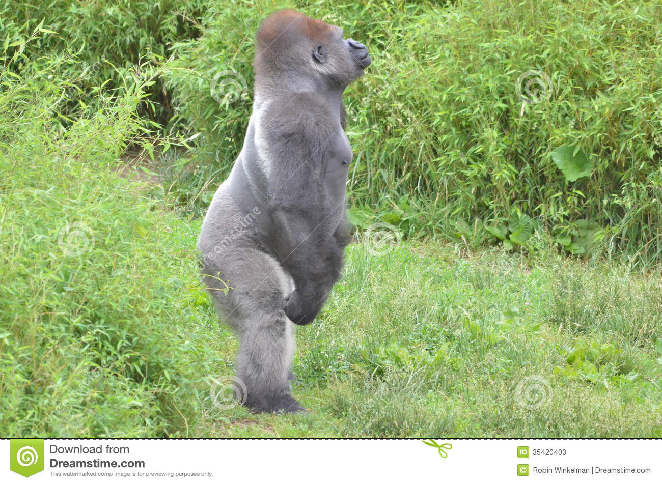 Standing Gorilla Stock Photos Image 35420403