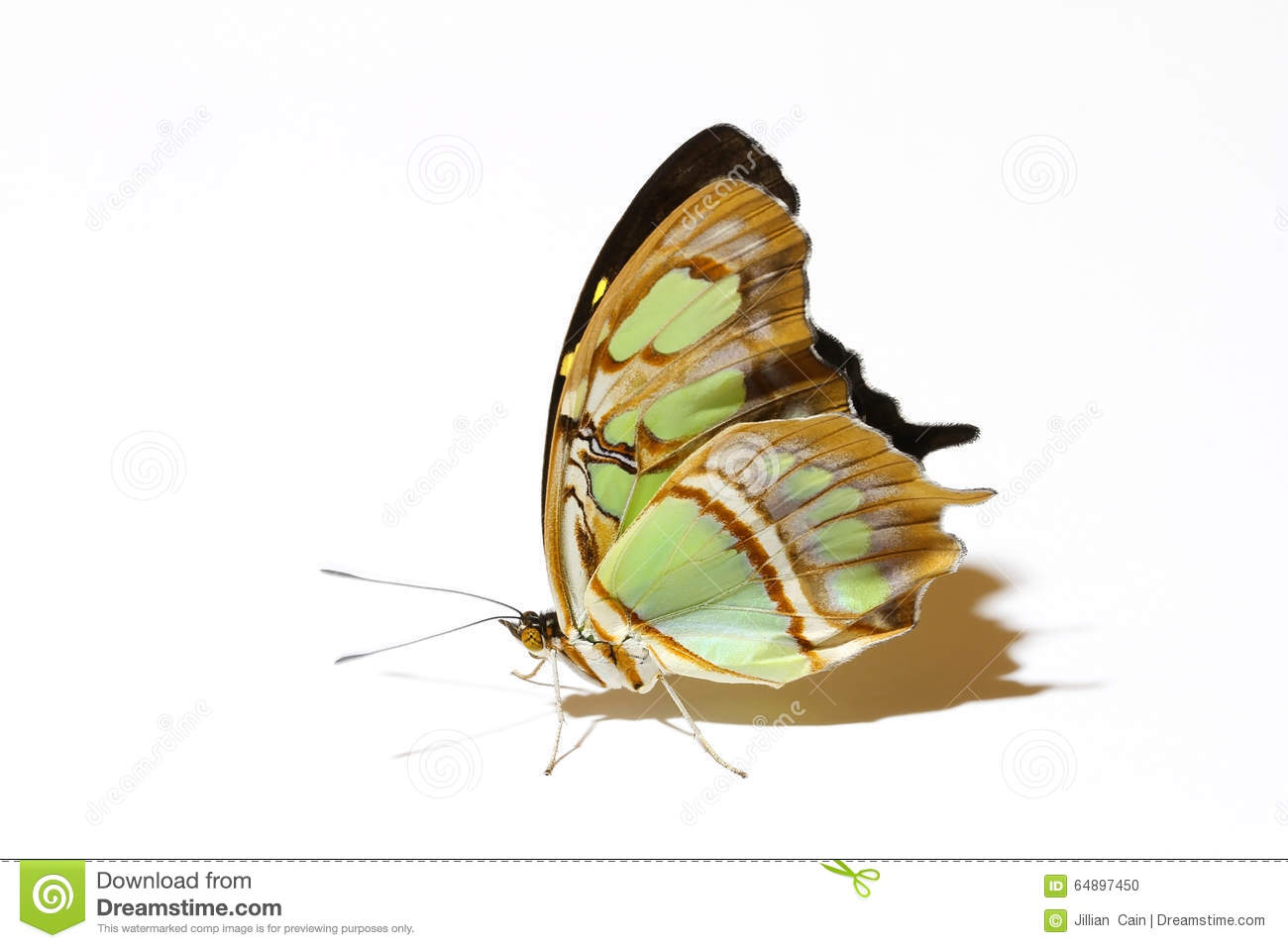 Standing Malachite butterfly isolated on white with it s beautiful wings up