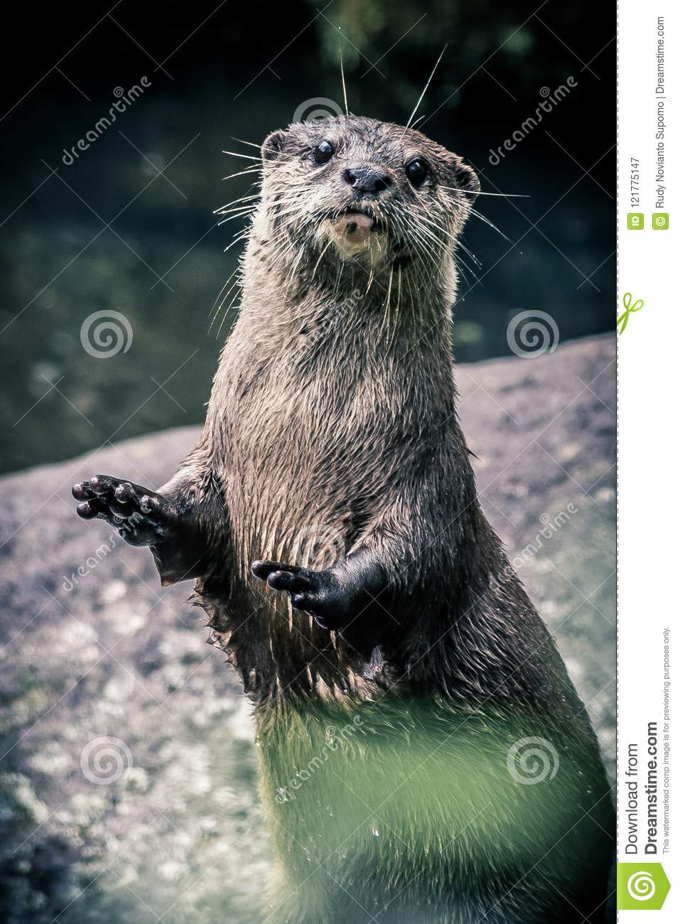 Standing Otter Holding Up His Hands Stock Image Image Of Pond