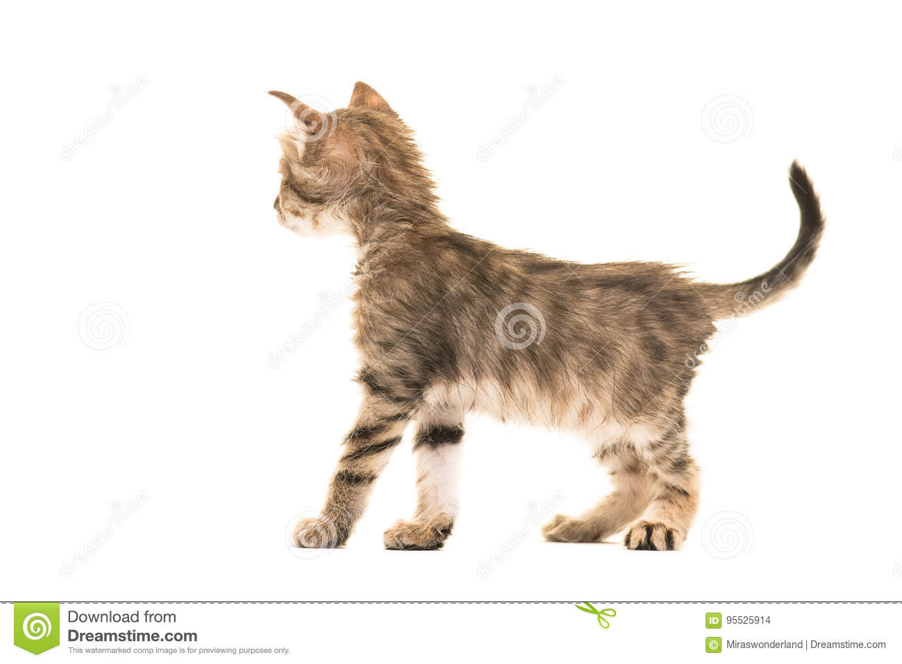 Standing Tabby Turkish Angora Baby Cat Seen From The Back Stock