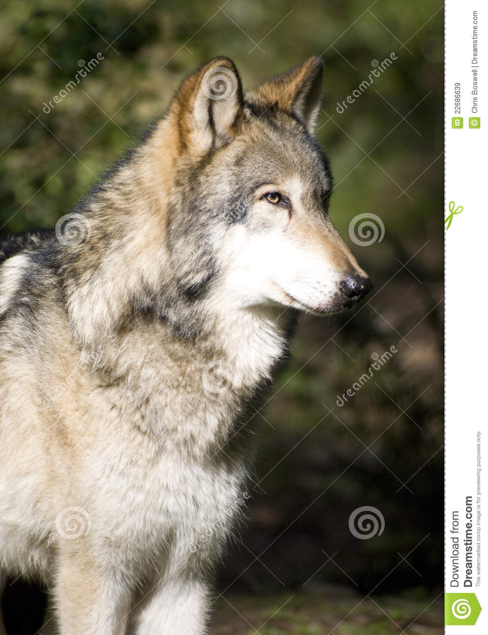 Standing Timberwolf Wolf Looks At Prey Hunting Royalty
