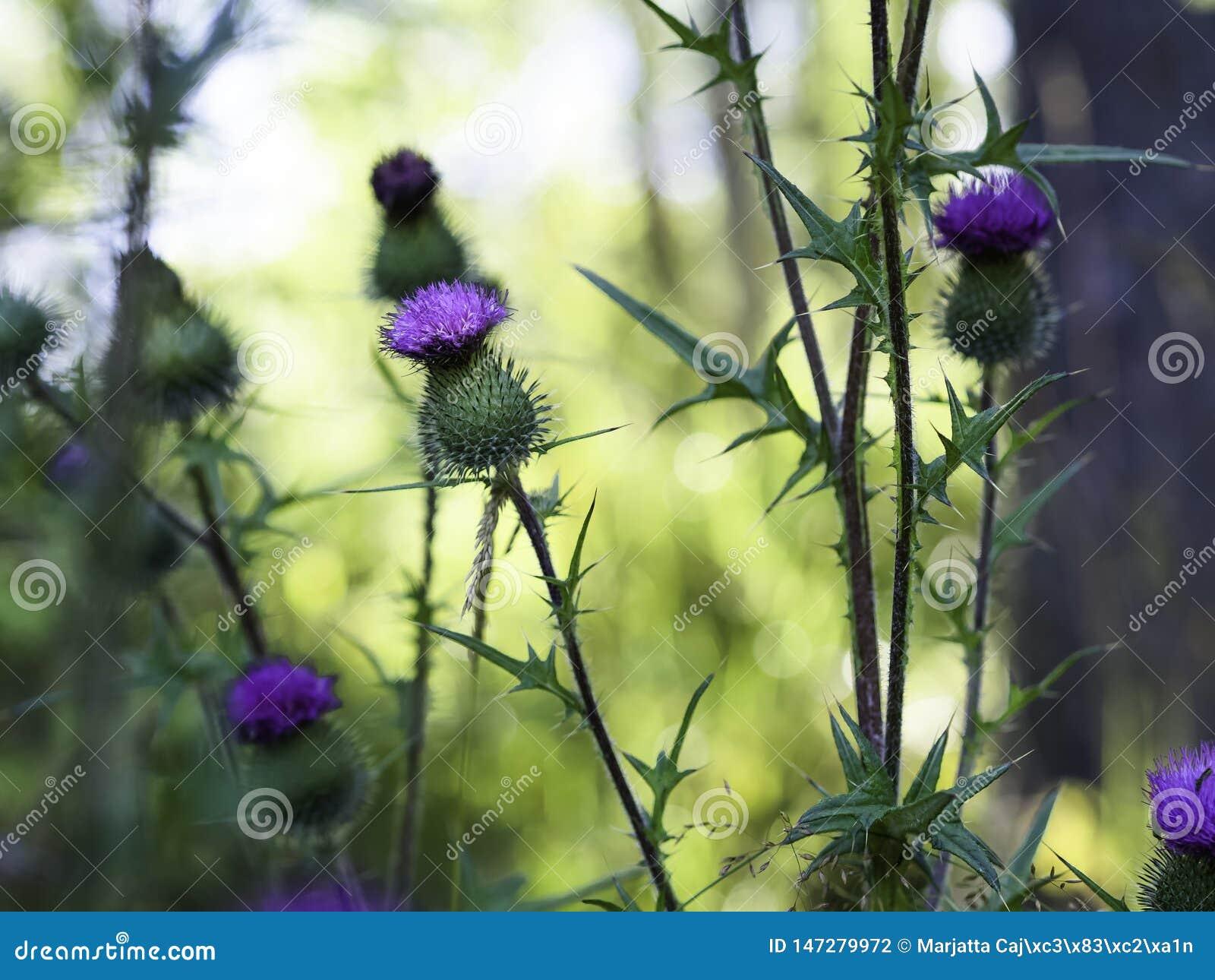 Stangendistel - Cirsium vulgare