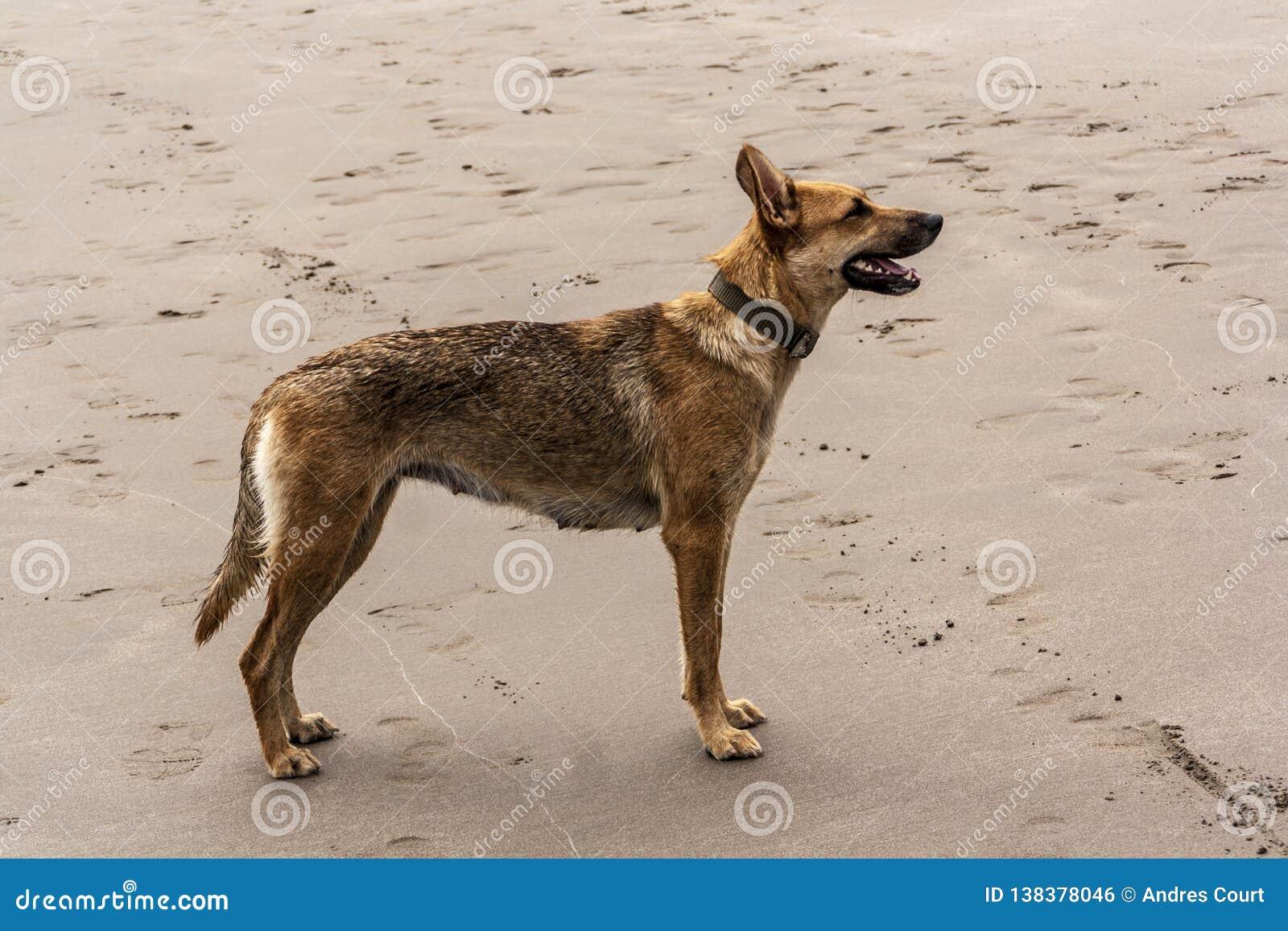 Stanig femelle de chien dans le sable