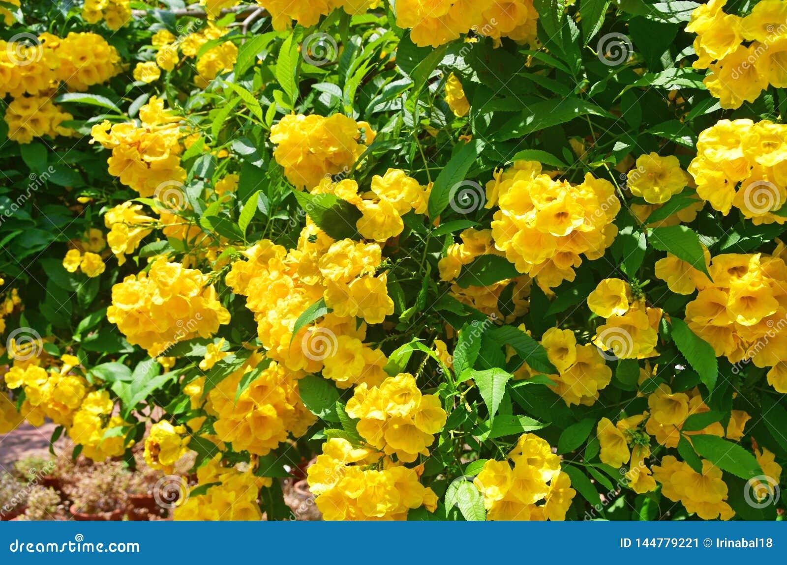 Stans de Tecoma no jardim da cidade em Trivandrum ?ndia, Kerala