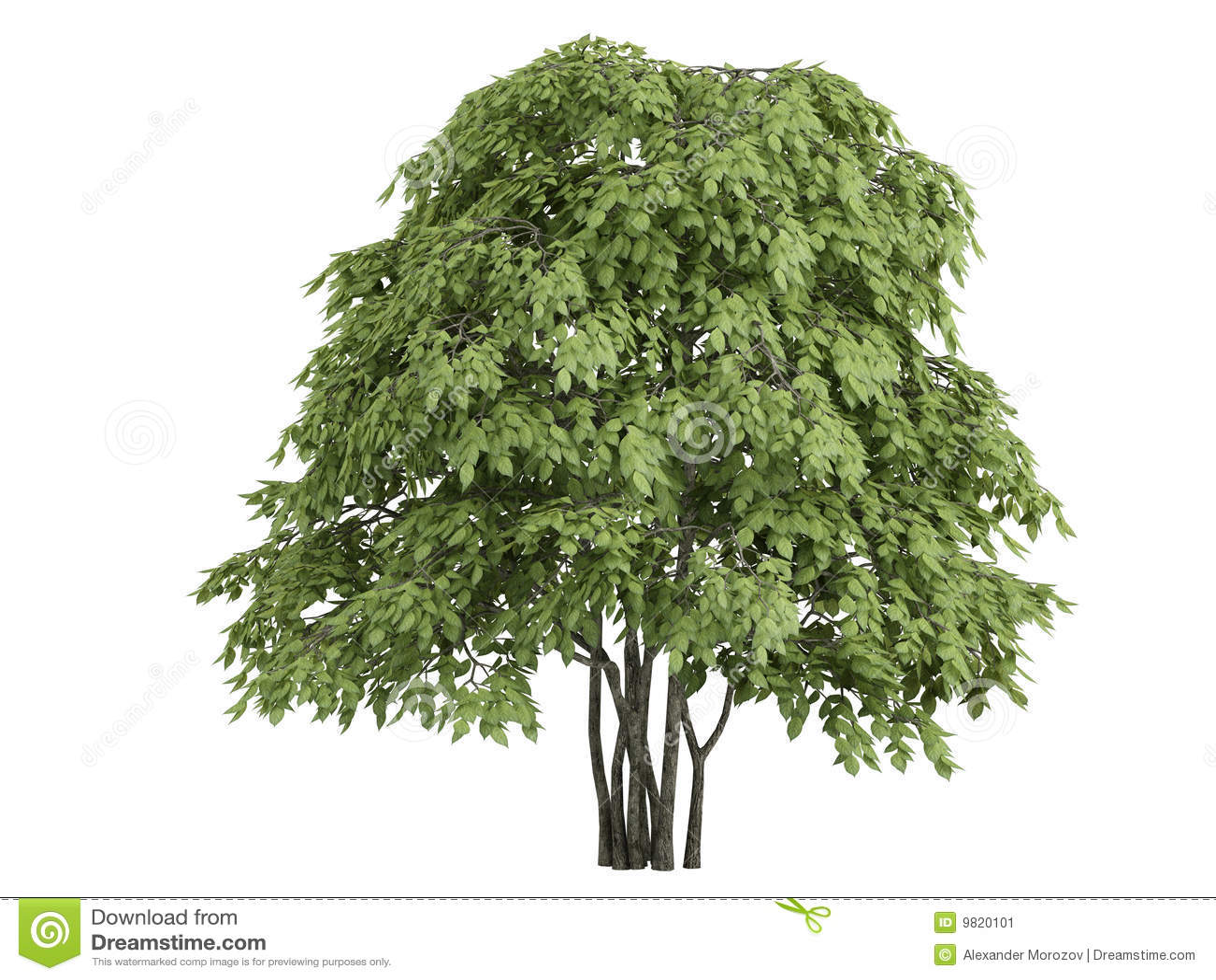 Staphylea Pinnata Stock Image Image 9820101