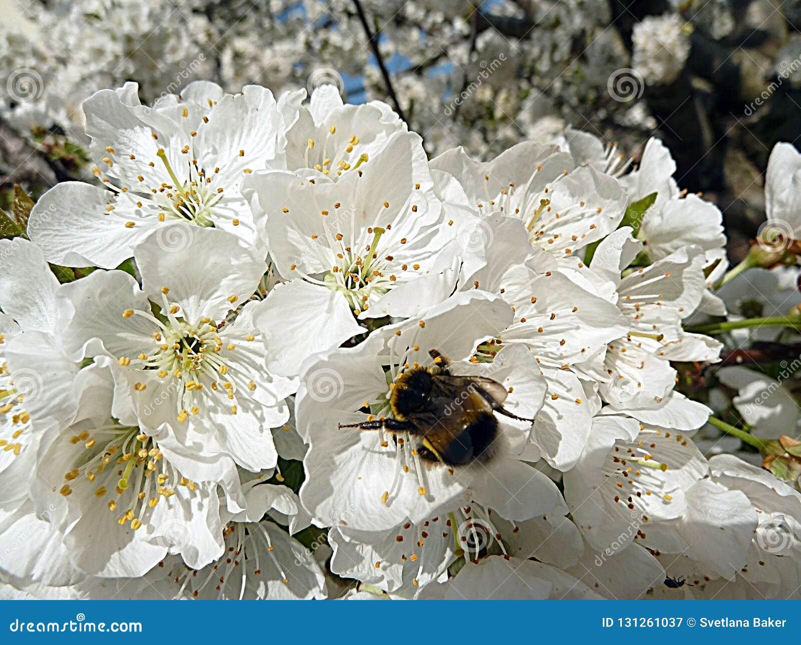 Stappla biet på blommor för det körsbärsröda trädet