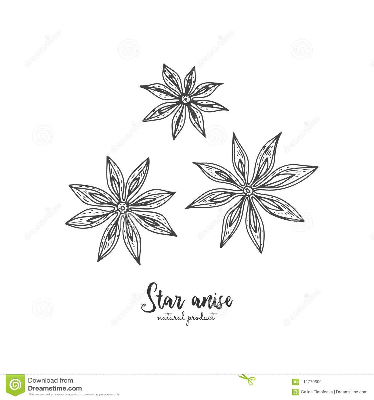 Star anise vector illustration isolated on white background. Vector vintage spices illustration. Detailed natural spices