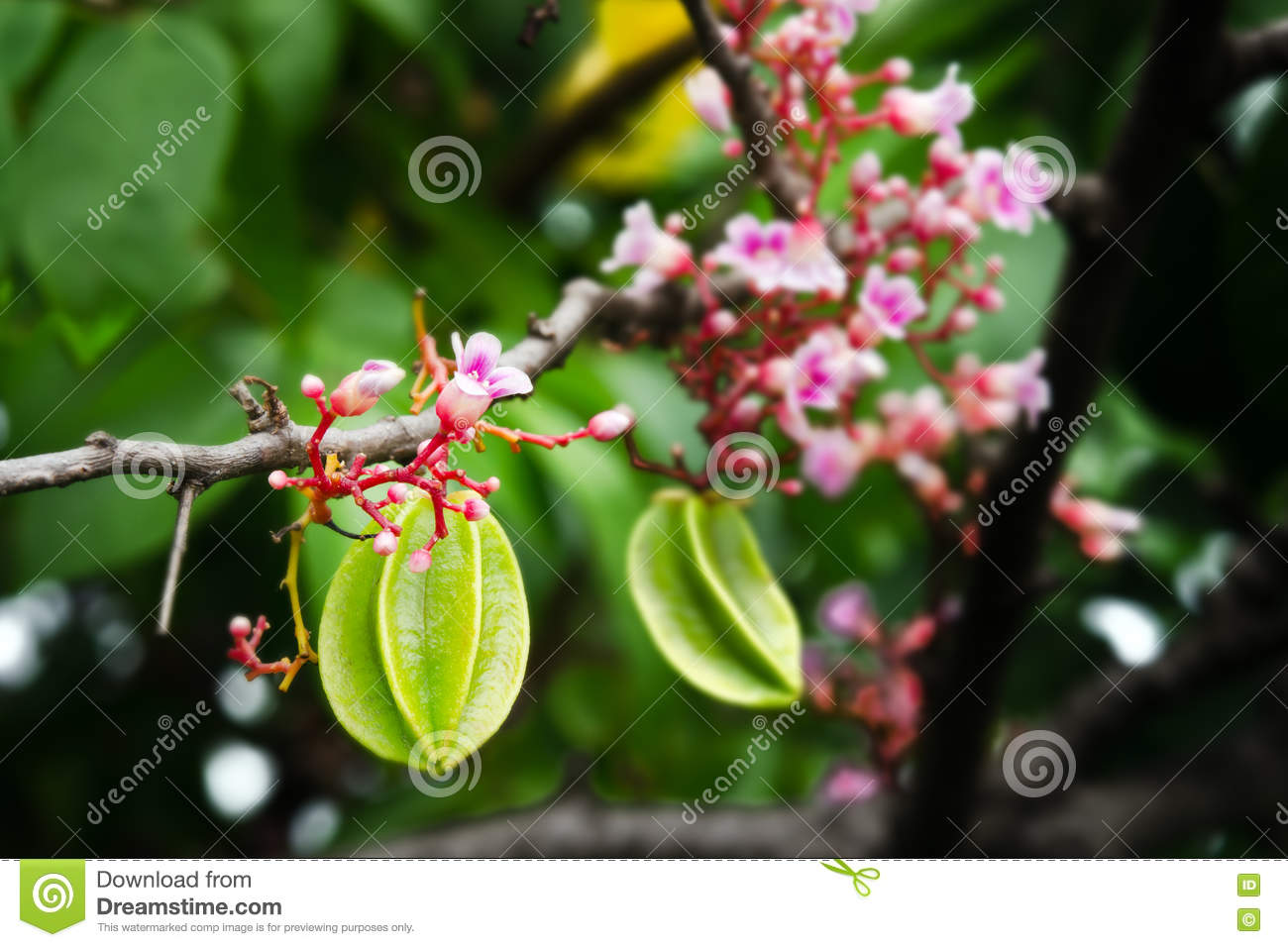 Star apple fruit hanging with flower on the tree