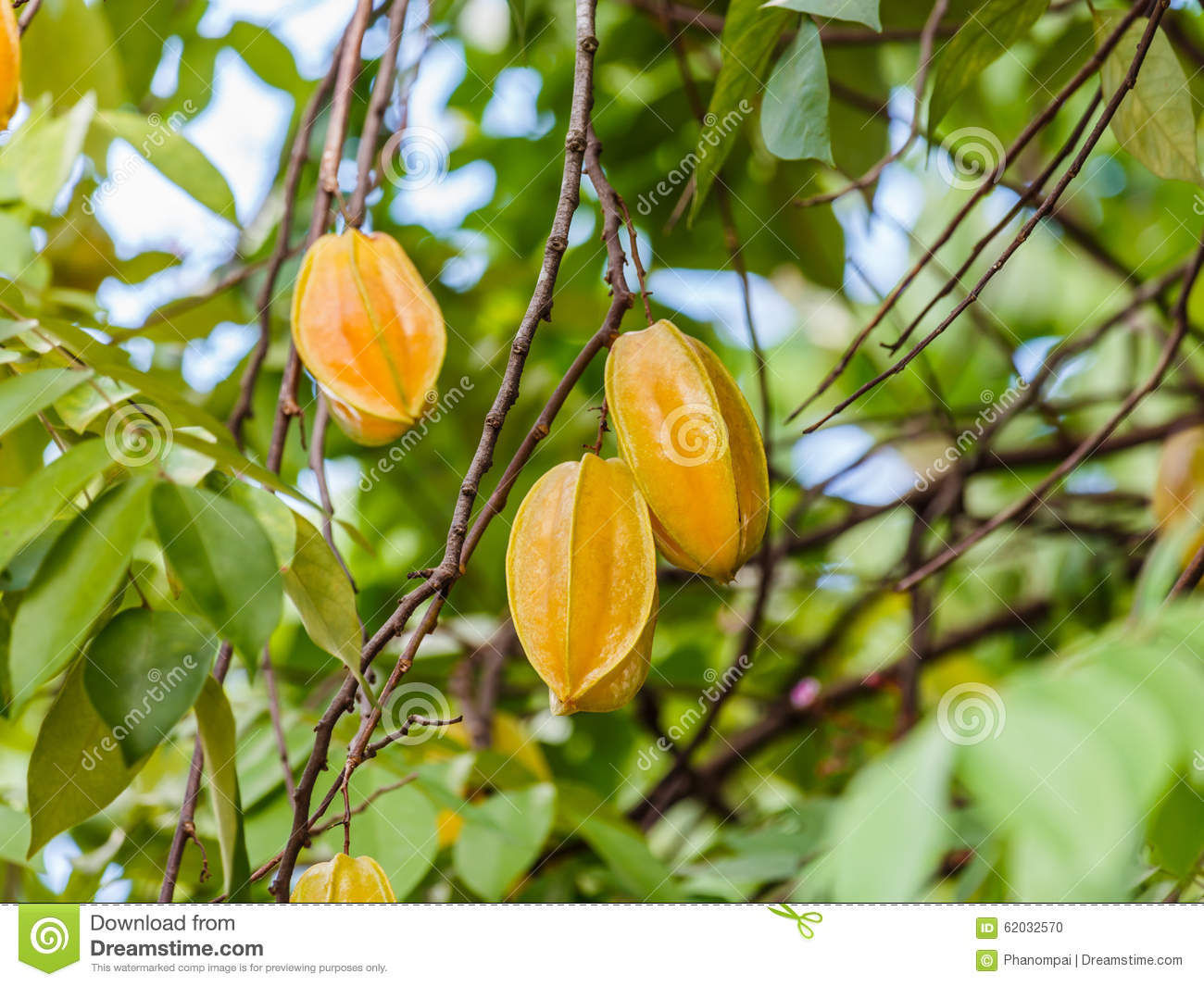 Star Apple Fruit On The Tree. Stock Photo - Image of ...