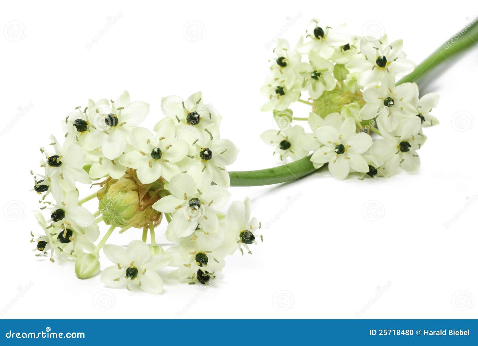 Star Of Bethlehem Flower Stock Photo 25718480 Megapixl