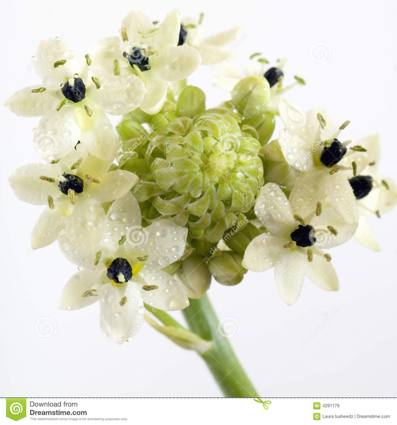 Close-up of black and white Star of Bethlehem flower with stamen and ...