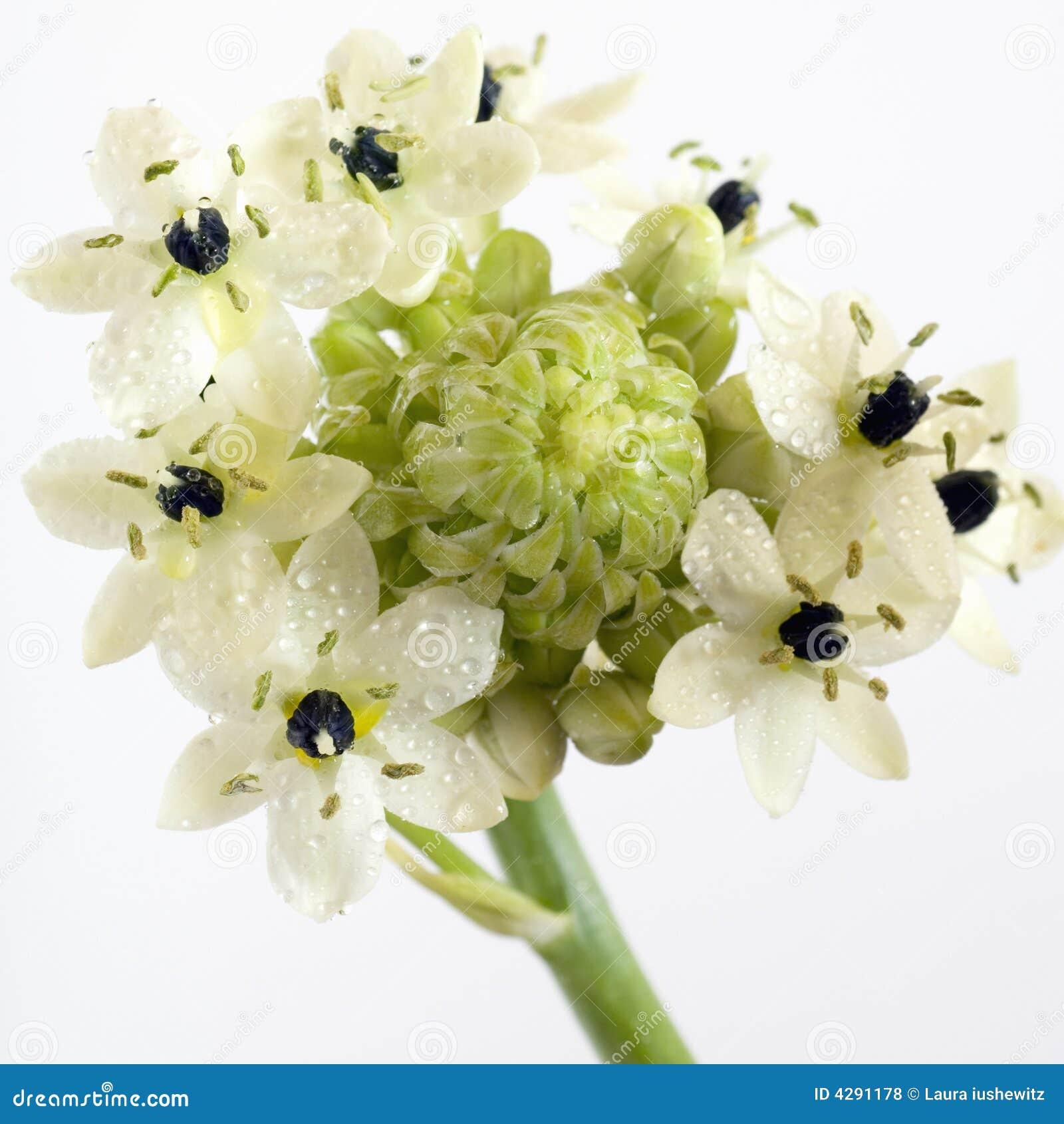 Star Of Bethlehem Flower Stock Photo Image Of Botany 4291178