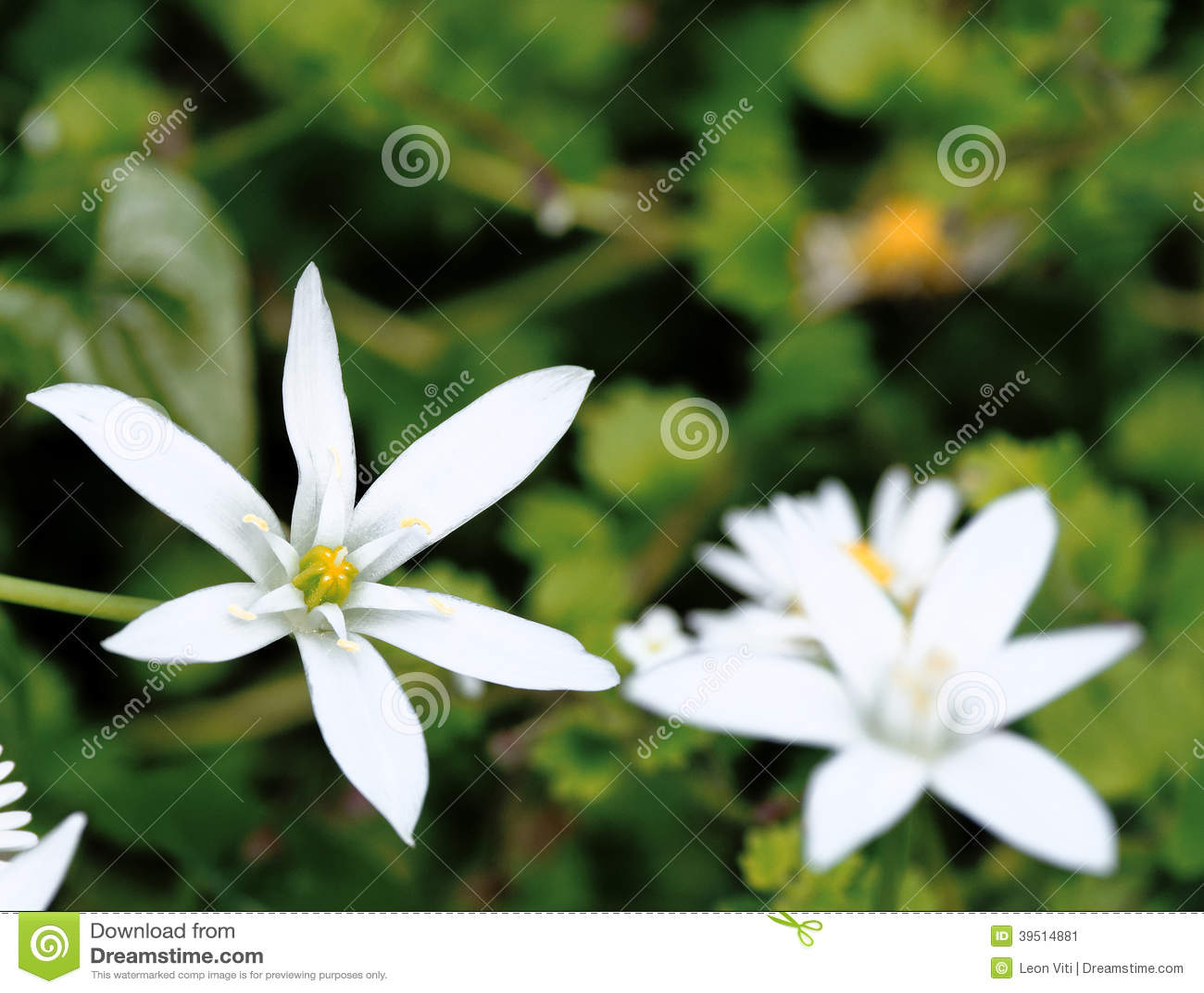 Star of Bethlehem Ornithogalum umbellatum