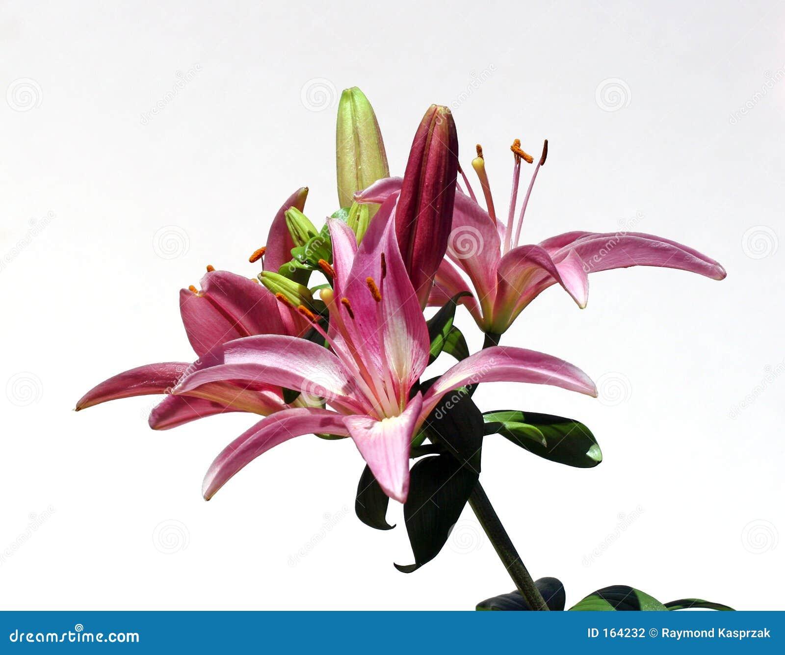 Star Burst Lily