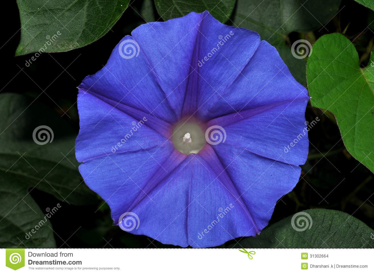 Star Flower Stock Photo Image Of Purple Nobody Colorful 31302664