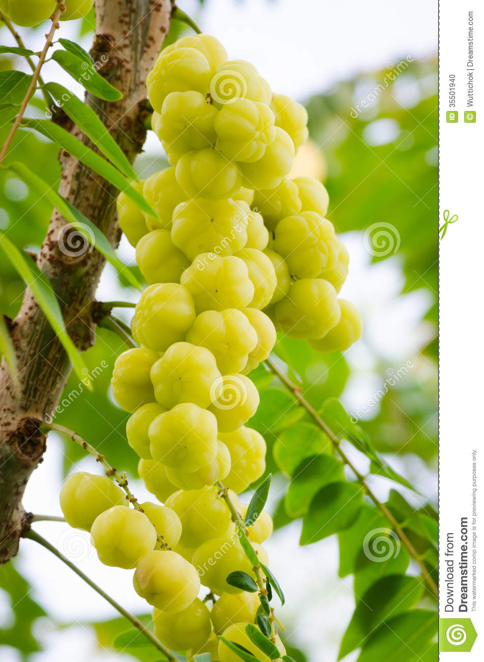star gooseberry tree there many types lucky thailand thai people believe mayom planted front 35501940