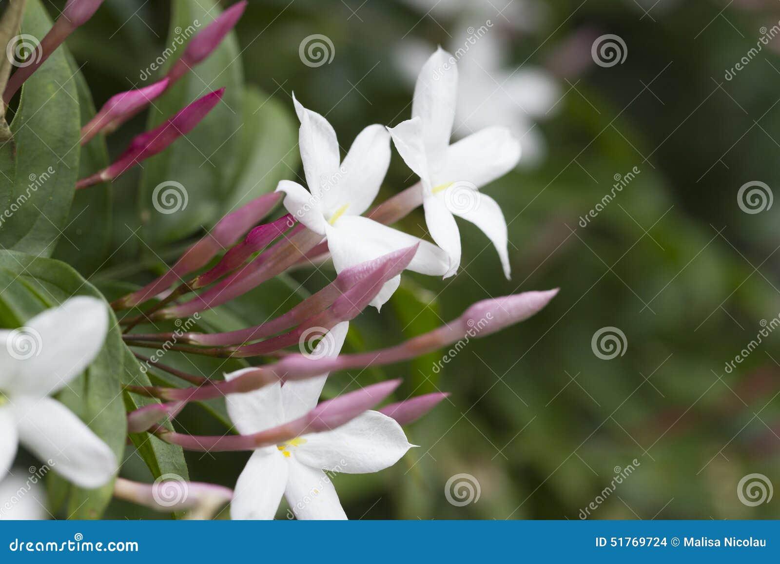 Star Jasmine Plant Stock Photo Image Of Jasminoides 51769724