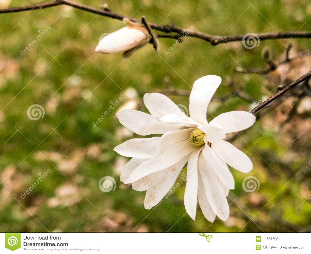 Star Magnolia Tree Flower Stock Image Image Of Brown 115676081