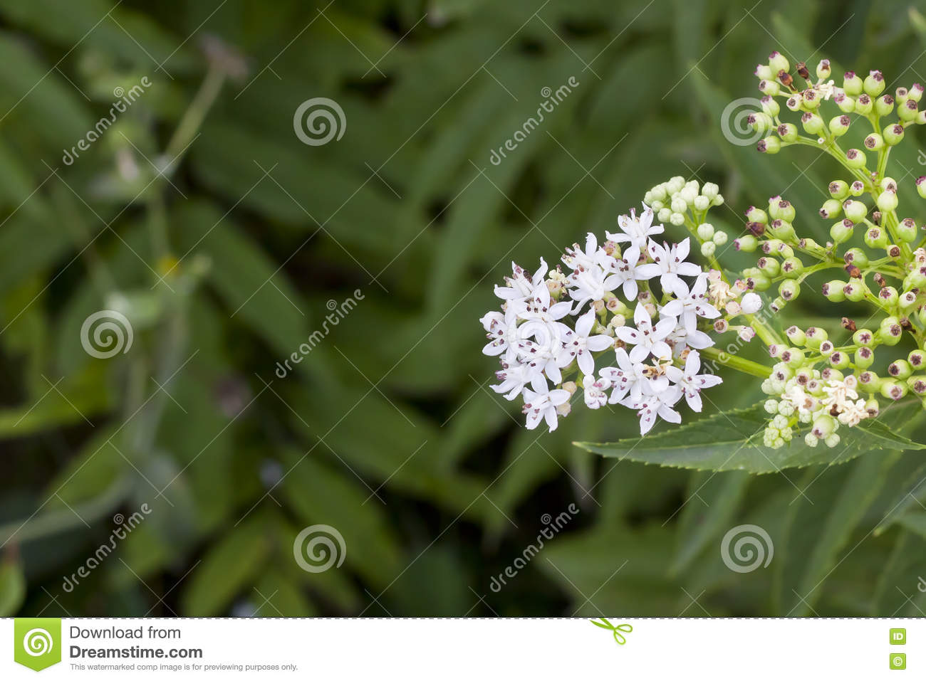 Star shape white flowers stock photo image of bush spring 77906144 download comp mightylinksfo