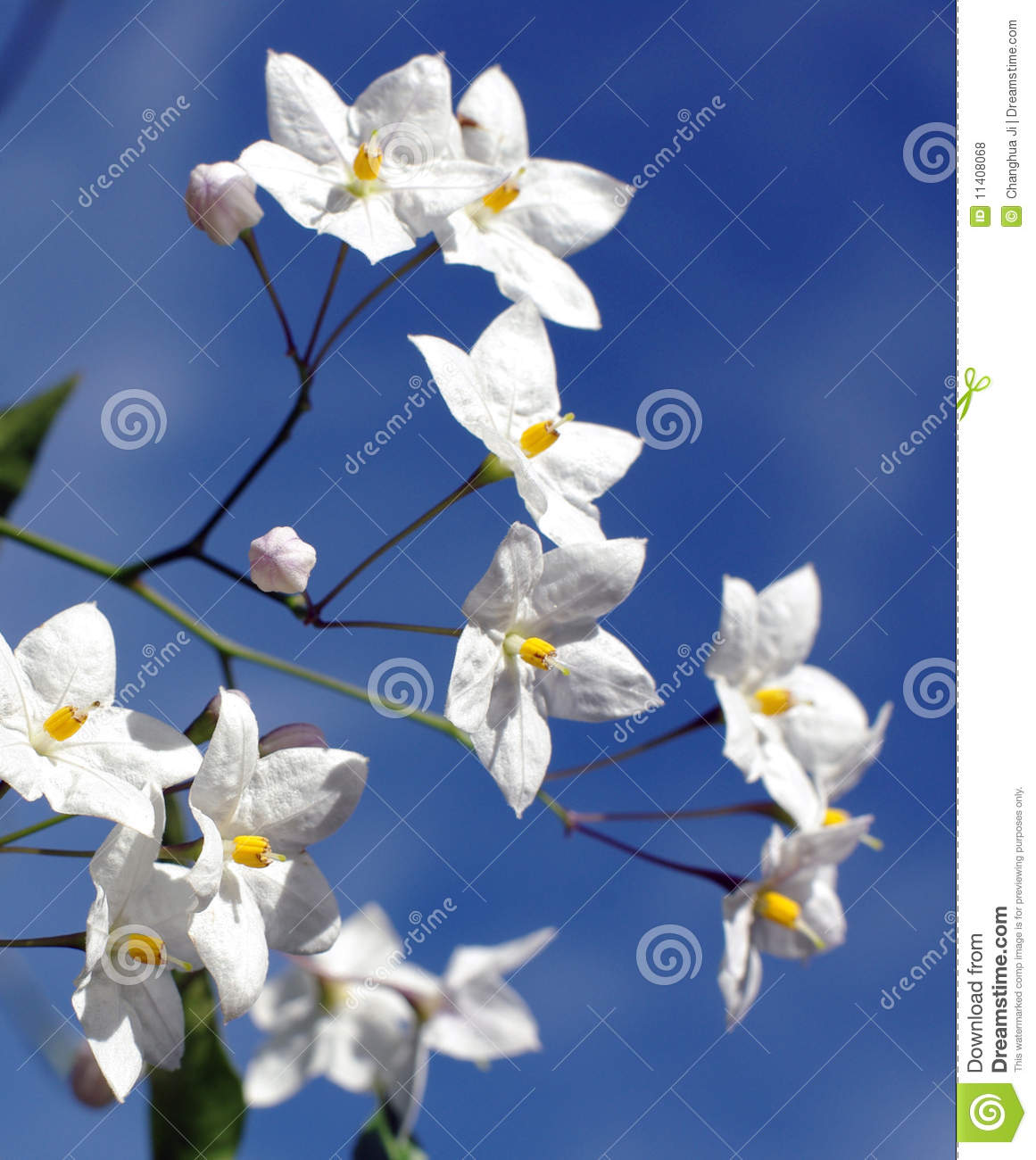 Star Shaped White Flowers Stock Photo Image Of Blue 11408068