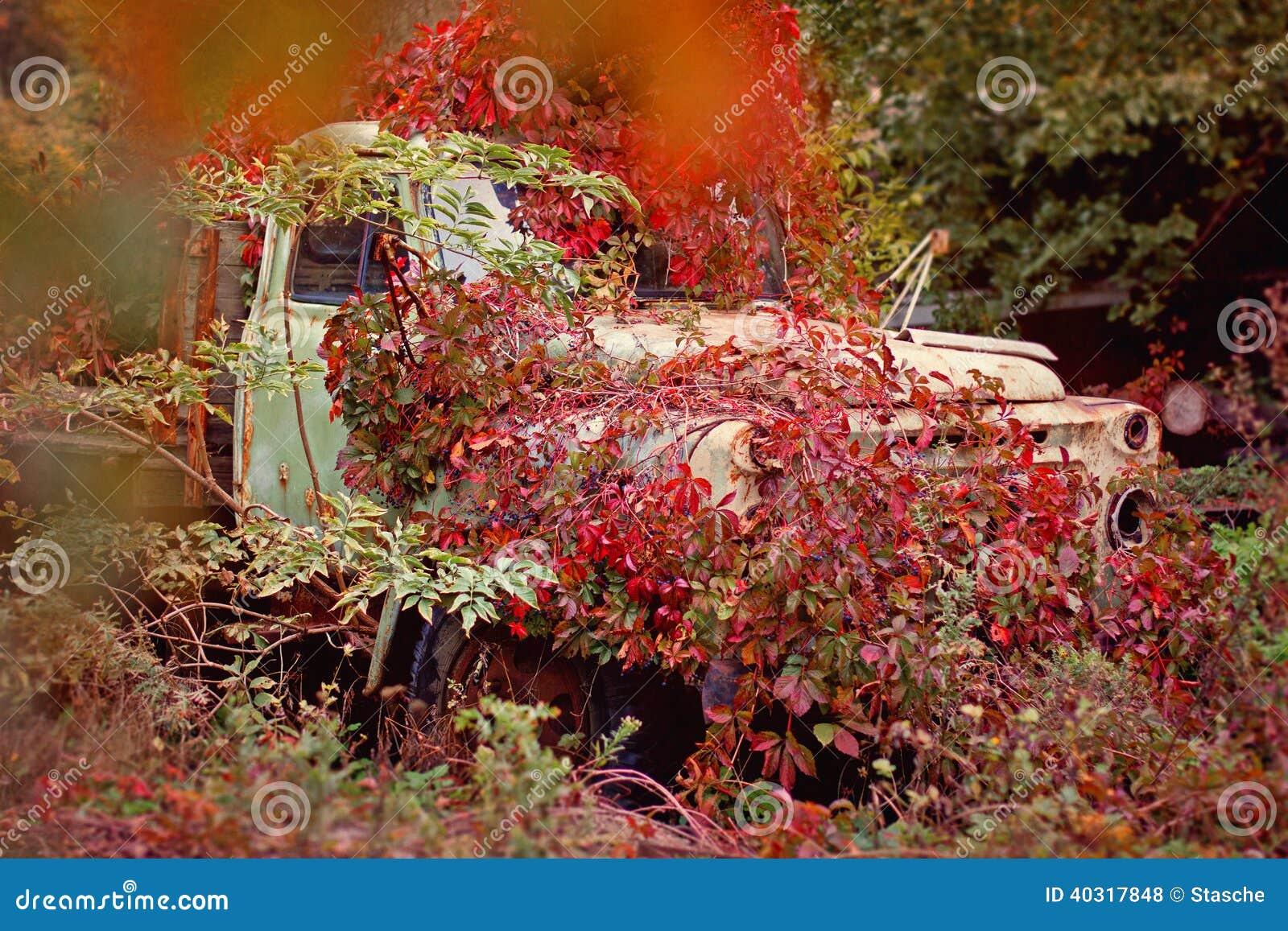 Stara ciężarówka przerastający czerwoni dzicy winogrona