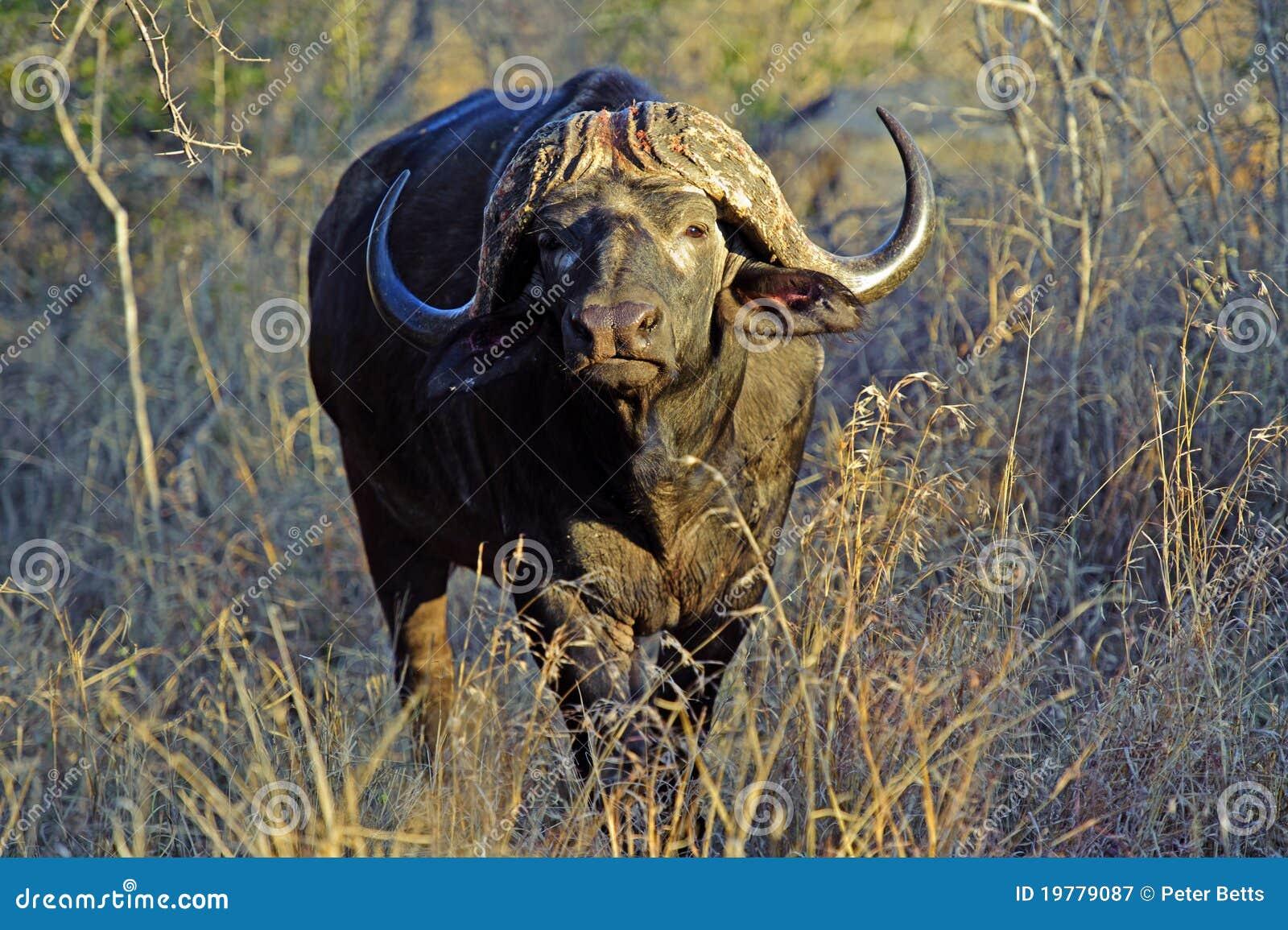 Stare буйвола