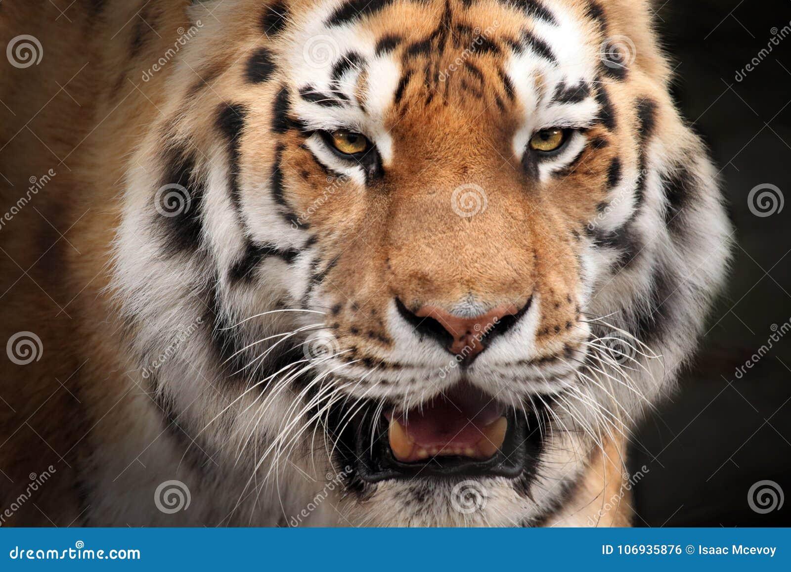 Stare des Mann tiger