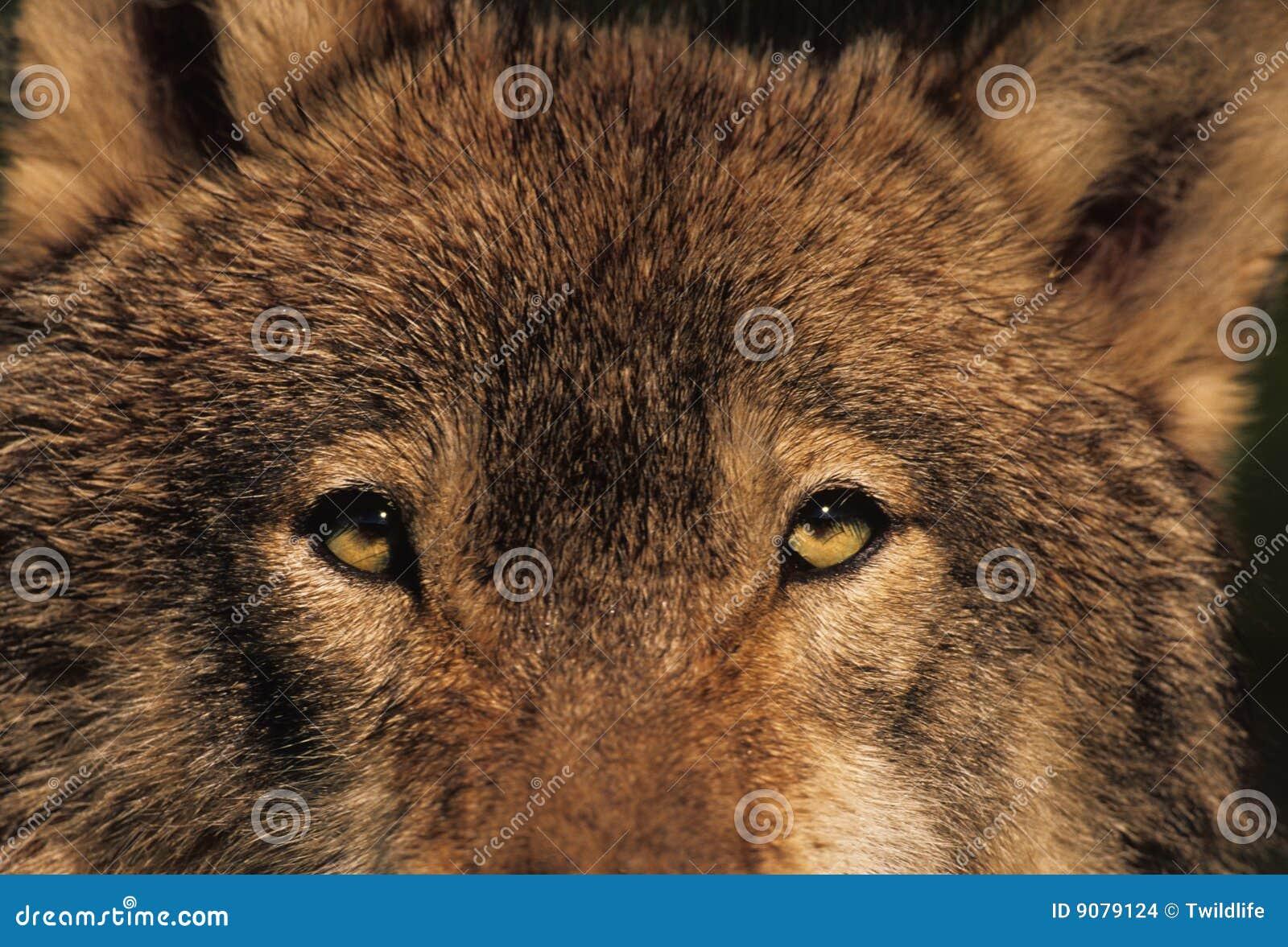 Stare des Wolfs