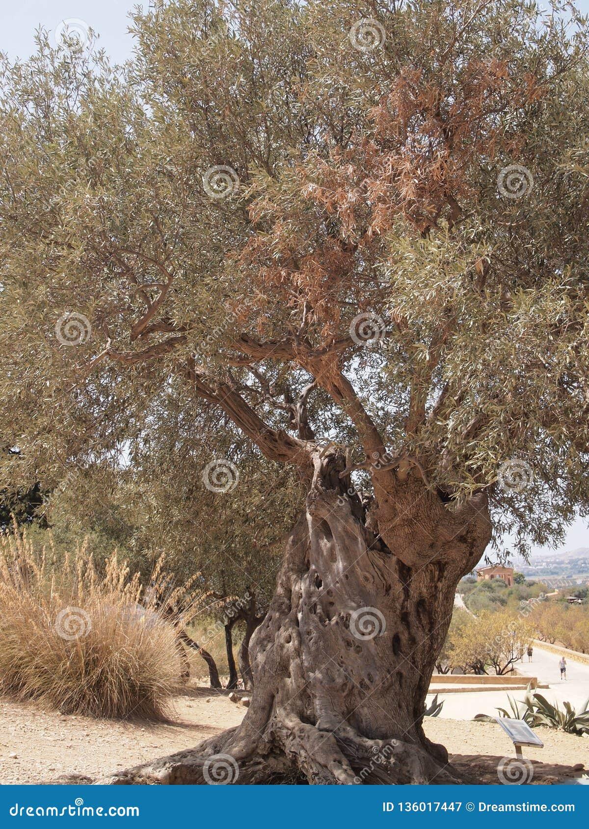 Stare drzewo oliwne