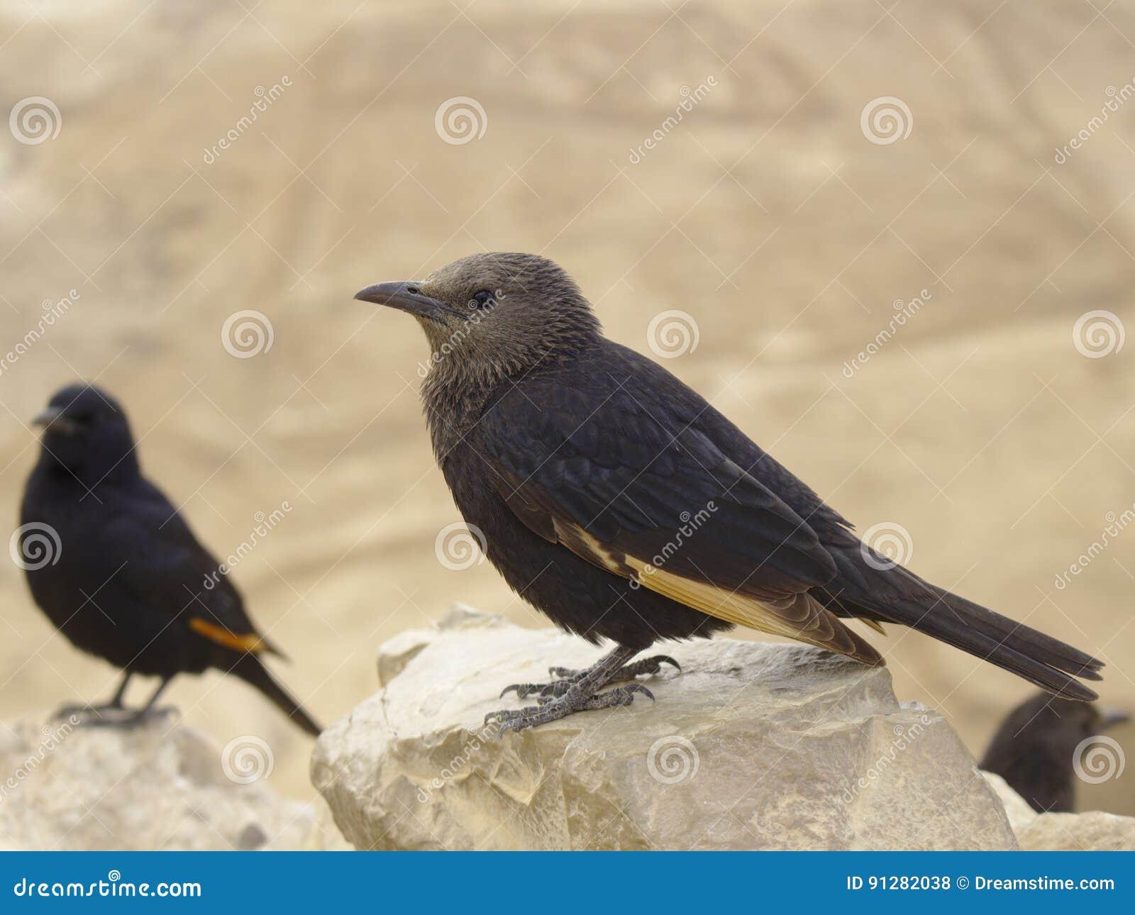 Stare för Tristam ` s på masadafästningen