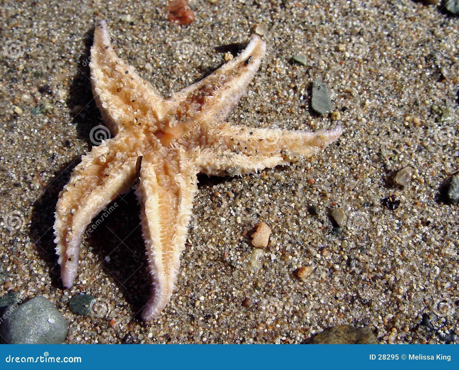 Starfish na areia