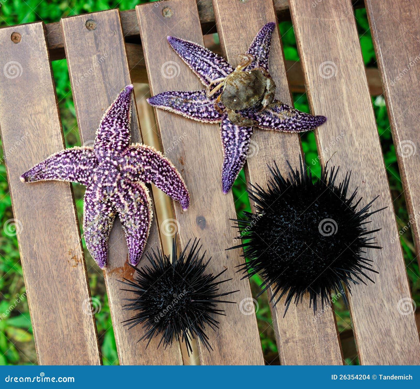 Starfish und Seeigel, Echinus
