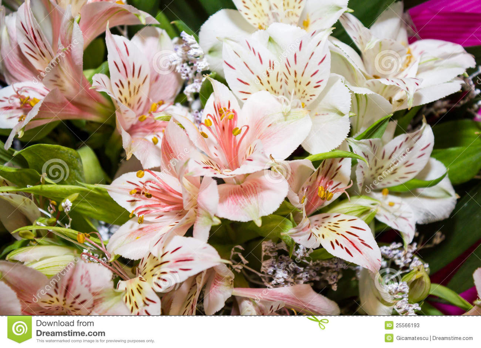 Stargazer lilies stock image image of fragile delicate 25566193 stargazer lilies mightylinksfo