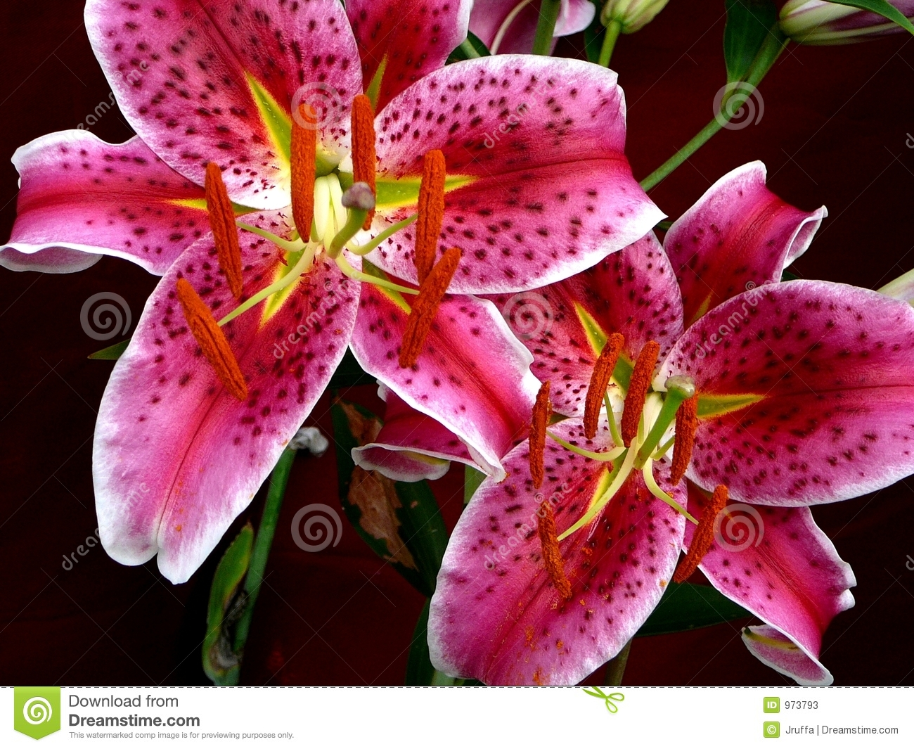 stargazer lily stock photos, images,  pictures   images, Natural flower